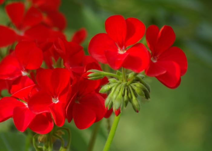 Герань или пеларгония Geranium