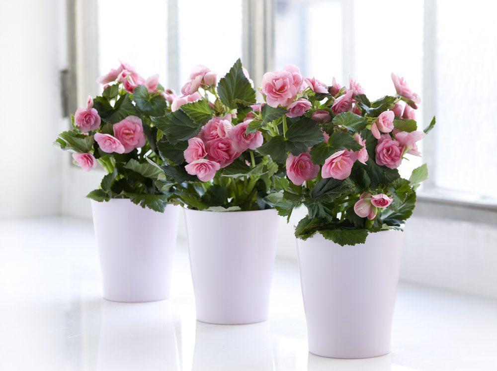 Бегония Элатиор Begonia hybrida elatior Begonia x elatior hort