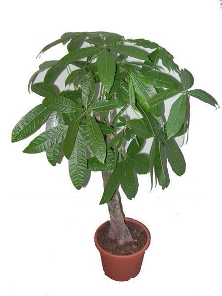 Авокадо или Персея (Avocado Persea)