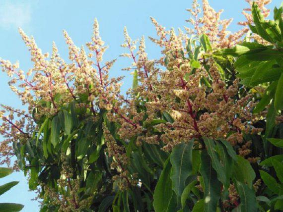 Цветение Авокадо или Персея (Avocado Persea)