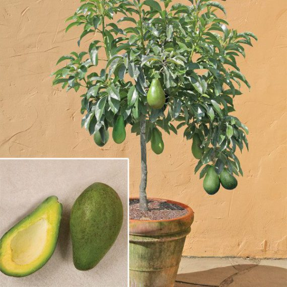 Фото дерева авокадо в домашних условиях