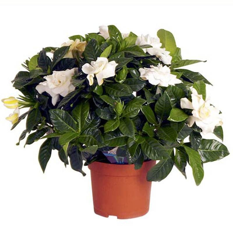 Гардения Gardenia