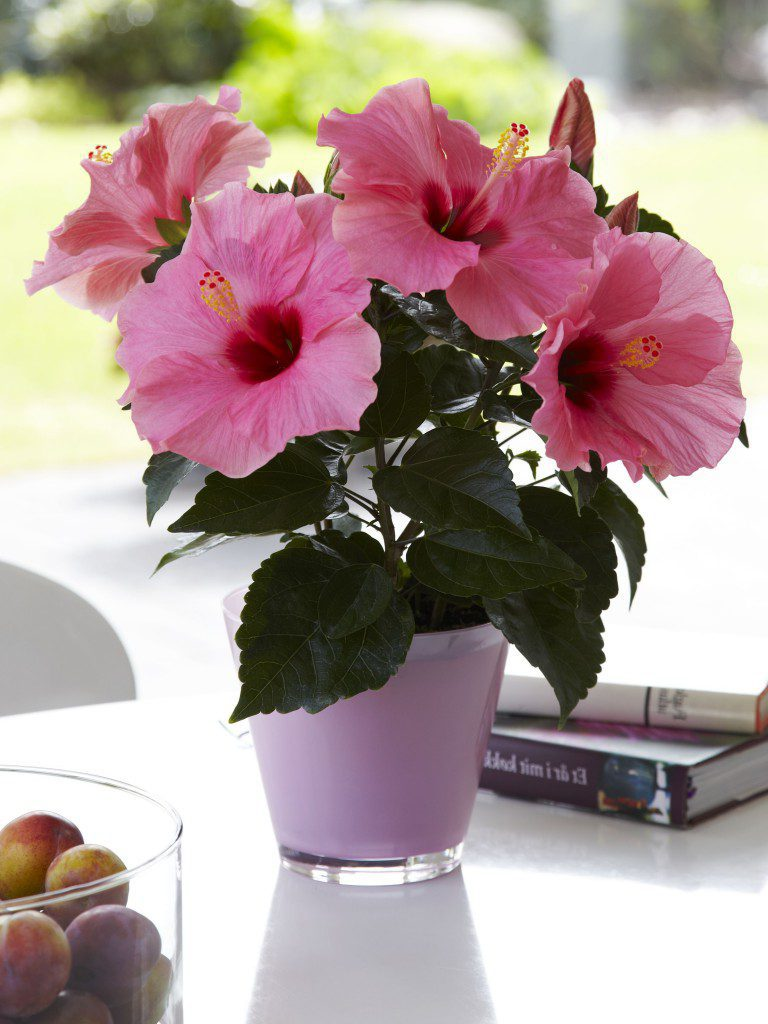 Гибискус - китайская роза Hibiscus
