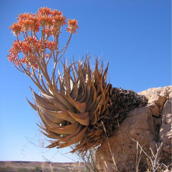 Цветение Алоэ Aloe hereroensis