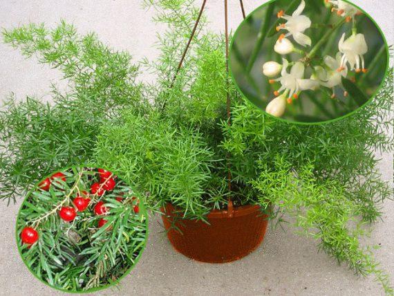 Цветение Аспарагуса ШпренгераAsparagus densiflorus Sprengeri